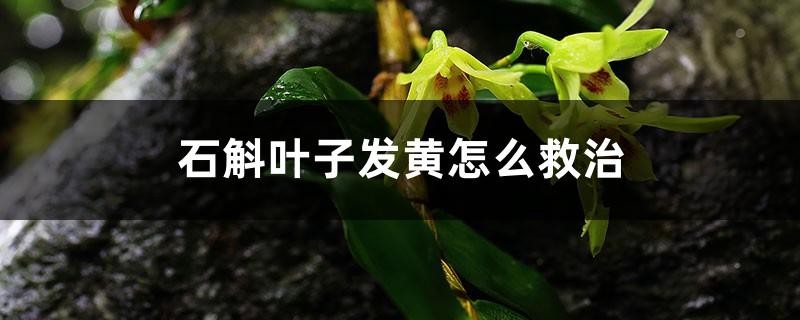 石斛叶子发黄怎么救治