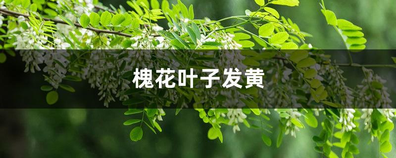 槐花黄叶的原因和处理办法