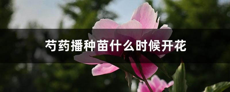 芍药播种苗什么时候开花,芍药播种育苗方法