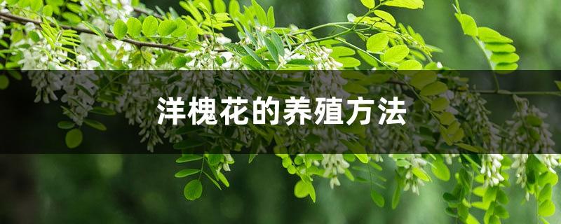 洋槐花的养殖方法和注意事项