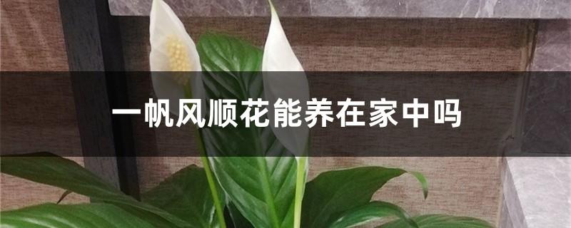 一帆风顺花能养在家中吗,在家中如何养护
