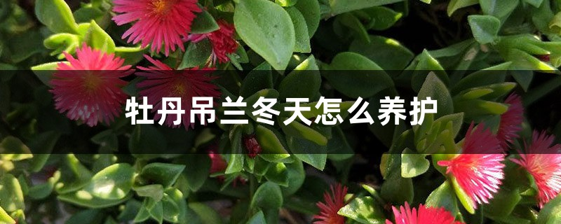 牡丹吊兰冬天怎么养护,需要剪枝吗