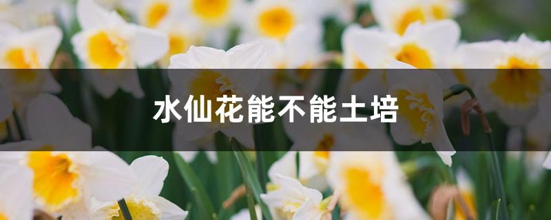 水仙花能不能土培,水仙花土培方法