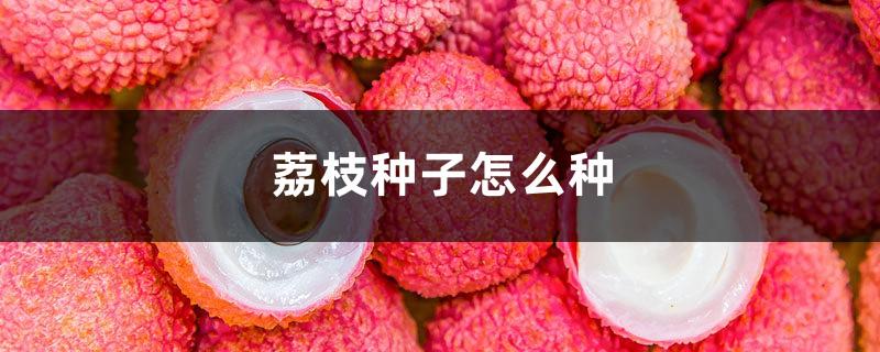 荔枝种子怎么种,盆栽能结果吗