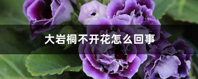 大岩桐不开花怎么回事,怎么催花