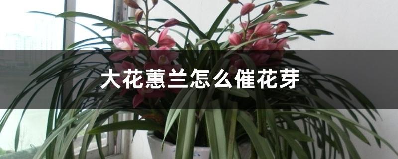 大花蕙兰怎么催花芽,花芽生长速度