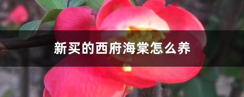 新买的西府海棠怎么养