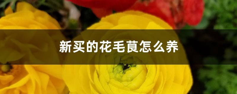 新买的花毛茛怎么养