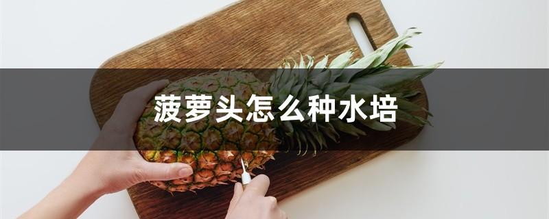 菠萝头怎么种水培