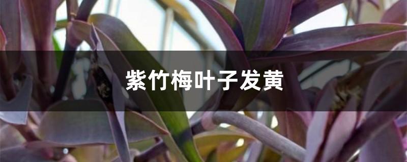 紫竹梅黄叶的原因和处理办法