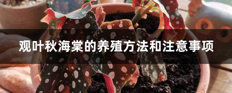 观叶秋海棠的养殖方法和注意事项