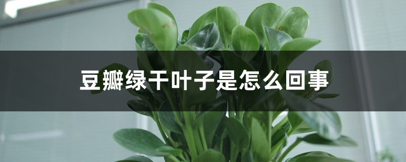 豆瓣绿干叶子是怎么回事
