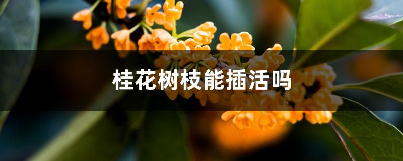 桂花树枝能插活吗