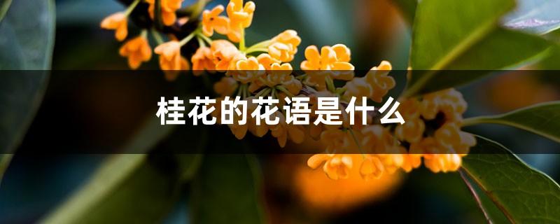 桂花的花语是什么