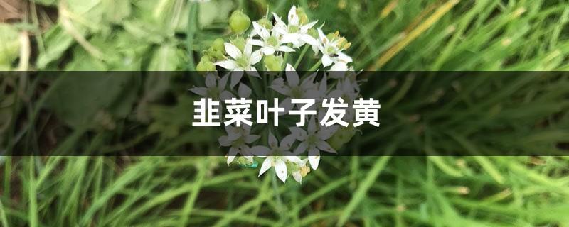 韭菜黄叶的原因和处理办法